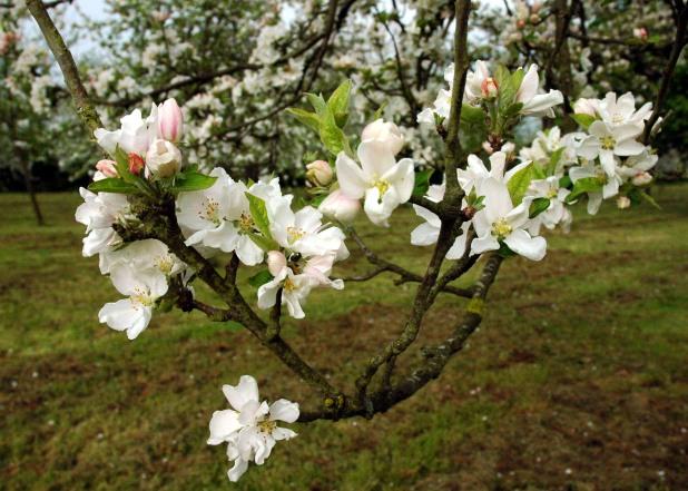 Schmucki Apfelblüte