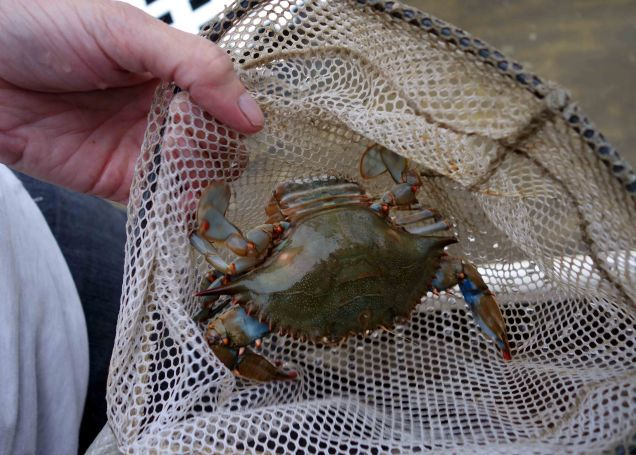 Blue Crab web format